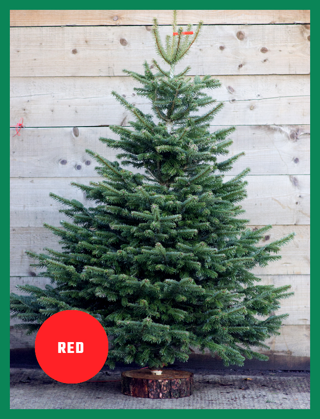 RED BAND CHRISTMAS TREES